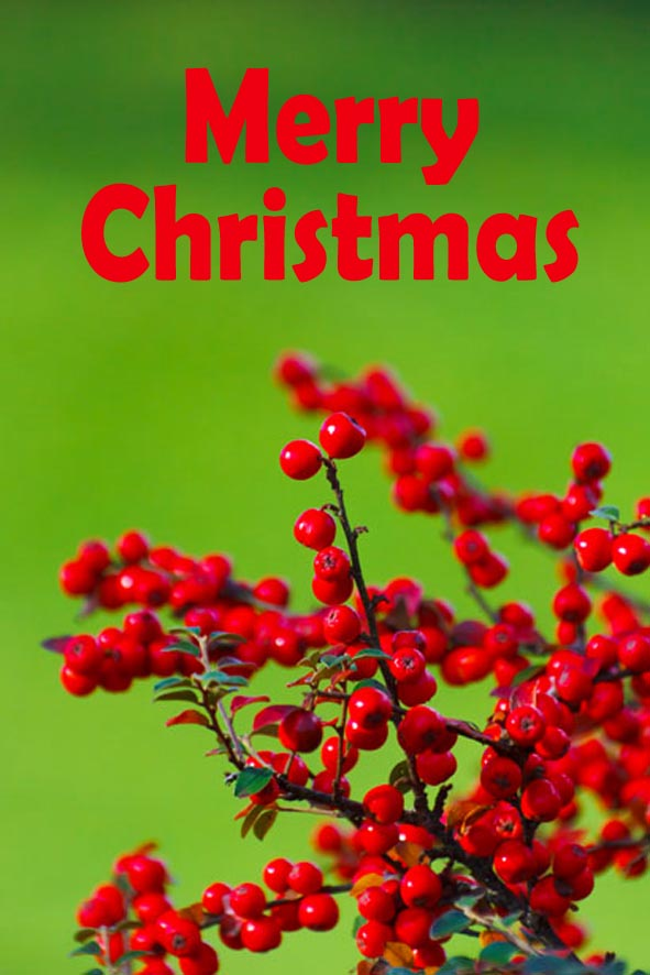 Printable Christmas cards - Photo of red berries on green