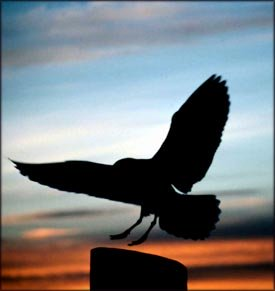 Silhouette of bird in the sunset.