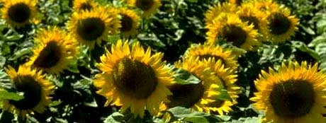 Kansas nickname: The Sunflower State - picture of sunflowers