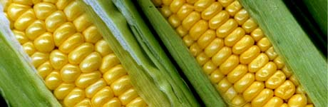 Illinois nickname: The Corn State - picture of corn
