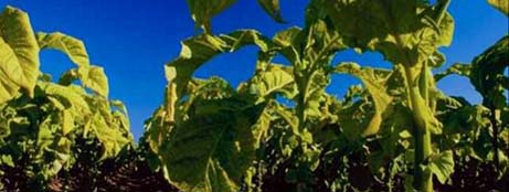 Kentucky nickname: The Tobacco State - picture of tobacco plants