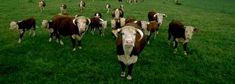 Nebraska nickname: The Beef State - picture of Nebraska cattle