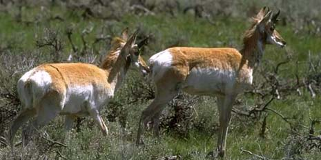Nebraska nickname: The Antelope State - picture of pronghorn antilopes
