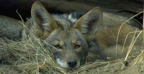 South Dakota nickname: The Coyote State - picture of a coyote