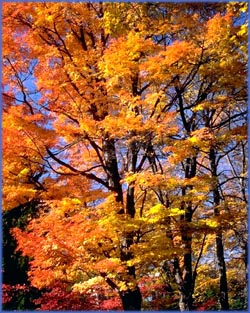 Happy birthday quotes: Orange autumn leaves on tree against clear blue sky.