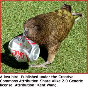 Funny facts: Photo of kea bird with Coca Cola can in its beak.
