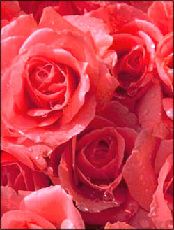 Funny Valentines Day Poems: Bunch of pink roses.