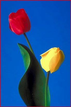 Happy birthday quotes - bouquet of tulips, a red tulip and a yellow tulip.
