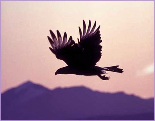 Inspirational life quote: flying eagle siluette in the night sky!