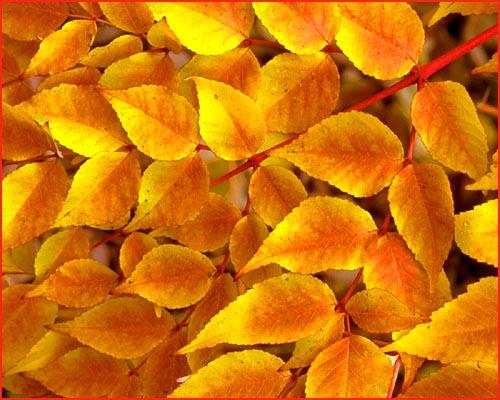 Picure of orange golden autumn leaves.