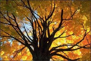 Big oak tree with orange autumn leaves.