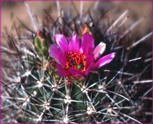 Inspiring words: Pink flower on cactus.
