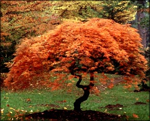 Inspiring words: tree with red leaves in the autumn.