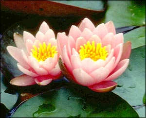 Two pink waterlilies.
