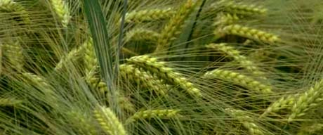 Kansas nickname: The Wheat State - picture of wheat field