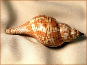 Picture of pretty sea snail.