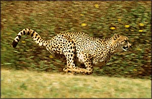 Motivational quotes: Cheeta running at full speed.