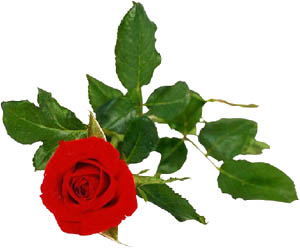 Photo of red rose still on its rose twig.