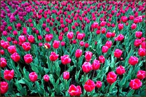 Love symbolism: Field of red tulips.
