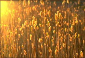 Seize the NOW: Picture of golden grain or corn.