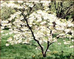 Reaching full potential: Small tree in spring with white flowers.