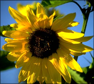 Thank you quotes: Close-up of beautiful sunflower and blue sky.