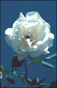 A single white rose in the morning light on a blue sky.