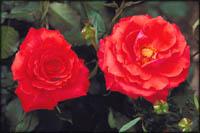 Roses in full bloom. Two red roses.