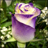 Lilac rose symbolism.