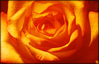 Orange Valentine rose symbolism.