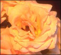 Peach rose symbolism.