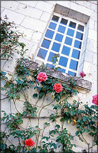 A climbing rose bush under window.