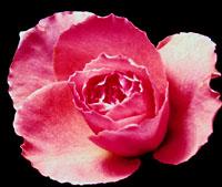 Pink Valentine rose symbolism