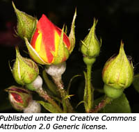 The symbolism of rose buds.
