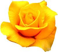 Yellow rose symbolism.