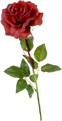 Picture of a red rose.