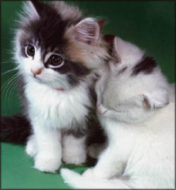 Cute Valentines ideas: Two cute black and white kittens.