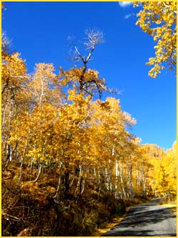 Weird but true facts about the oldest living organism: Photo of Quaking Aspens from Utah.