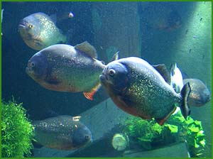 Weird but true facts about piranha: Photo of piranhas in aquarium.