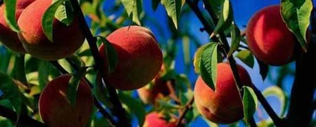 Delaware nickname: The Peach State - picture of peaches
