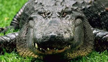 Florida nickname: The Alligator State - picture of alligator