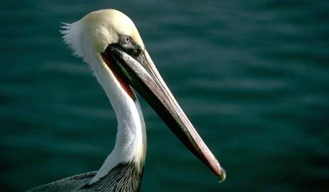 Louisiana nickname: The Pelican State - picture of the brown pelican