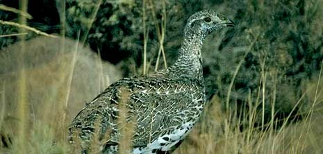 Nevada nickname: The Sagehen State - picture of sagehen
