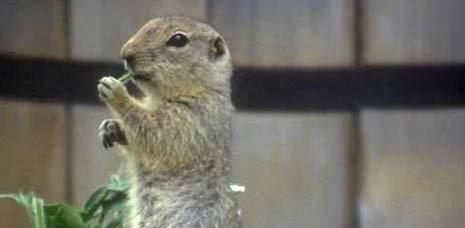 North Dakota nickname: The Flickertail State - picture of richardsons ground squirrel