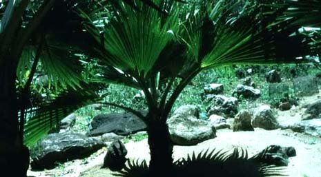 South Carolina nickname: The Palmetto State - picture of palmetto tree