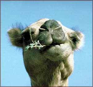 Funny pictures: Photo of funny camel head chewing.