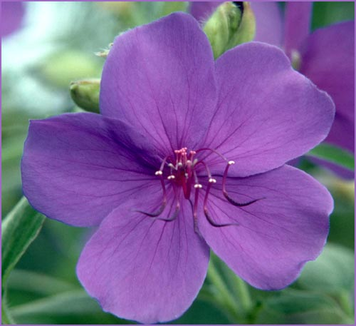 Picture of purple flower, close up.