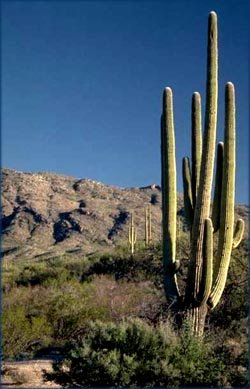 Symbol of perseverance: Big desert cactus against blue sky.