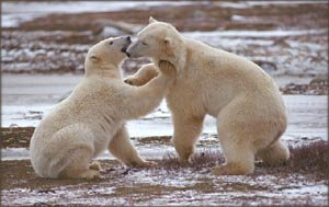 Inspirational quotes and sayings: Cute picture of polar bears playing.
