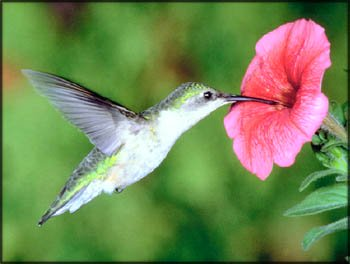 Action and Inspirational stories: photo of hummingbird drinking nectar from big pink flower.